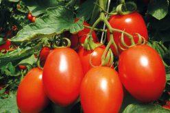 Pomidory dobre z natury!