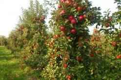 Profesor Makosz o wpływie embarga na eksport polskich jabłek