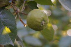 Ręczne przerzedzanie zawiązków jabłoni drogą do sukcesu