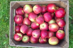 Polskie jabłka w USA już w 2015 roku?