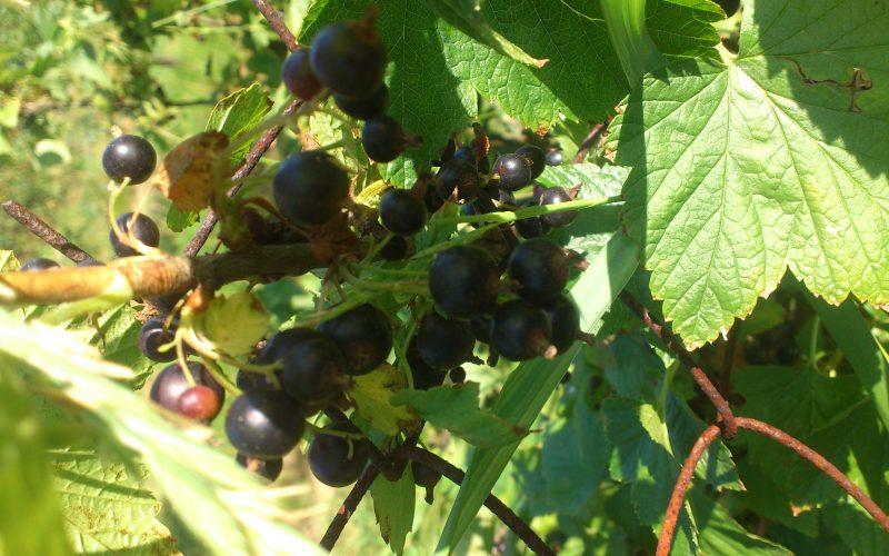 Pomoc dla plantatorów czarnej porzeczki