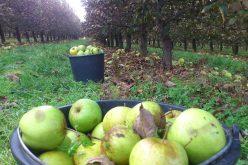 W tym sezonie będzie mniej jabłek przemysłowych