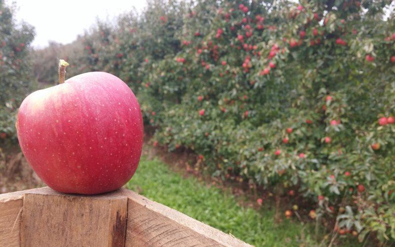 Polskie jabłka coraz lepiej radzą sobie na zagranicznych rynkach