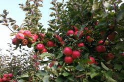 Nasze jabłka trafią do Wietnamu