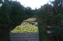 Spadek cen jabłek przemysłowych