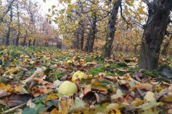 Ceny jabłek przemysłowych idą w dół