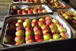 Świeże jabłka trafią do Wietnamu