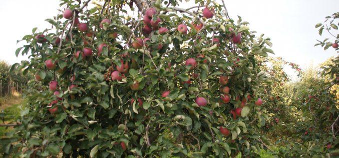 Eksport świeżych jabłek i gruszek do USA
