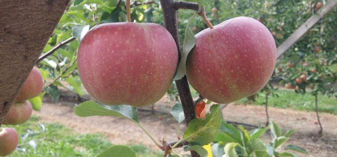Z VAT zwolnieni tylko Ci, którzy przekazali owoce i warzywa nieodpłatnie