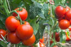 Hydroponiczna czy aeroponiczna uprawa pomidorów?