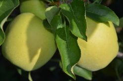Unijne zbiory jabłek najniższe od dekady