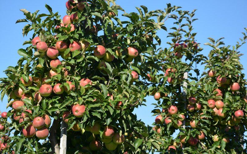 Ograniczanie dostaw jabłek przemysłowych zaleceniem Związku Sadowników RP