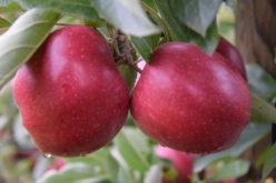 Na rynku jabłek stabilizacja na wysokim poziomie cen
