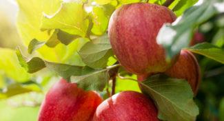 Rośnie eksport polskich jabłek