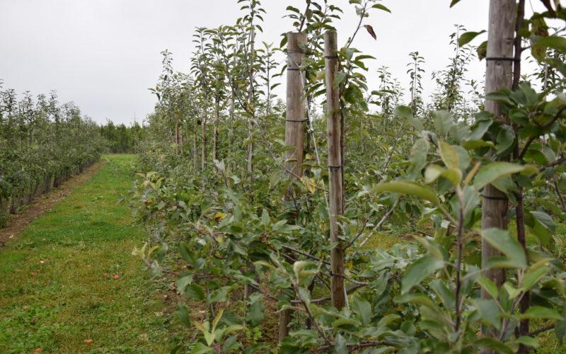 Późnojesienne zwalczanie chwastów w sadzie