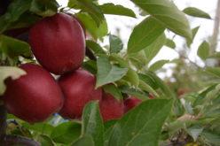 Sytuacja na rynku jabłek w sezonie 2016/2017