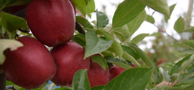 Polska króluje na rynku jabłek w UE