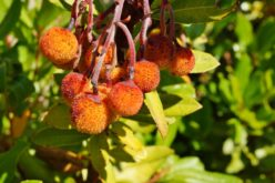 Arbutus Unedo L. – drzewo truskawkowe dla polskich ogrodników?