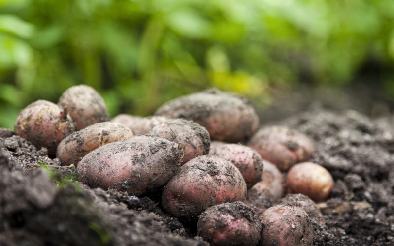 Wyposażenie nowoczesnej przechowalni ziemniaków