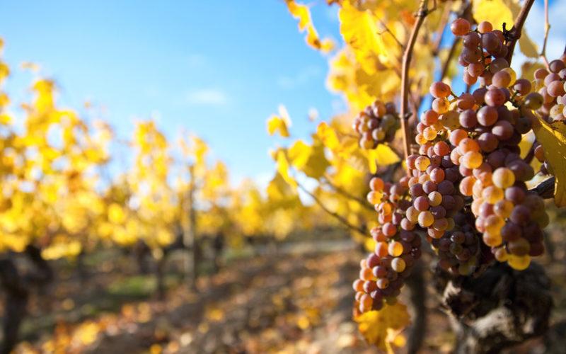 Możliwości uprawy winorośli w polskich warunkach klimatycznych