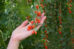 Jagody goji – wartości odżywcze i uprawa