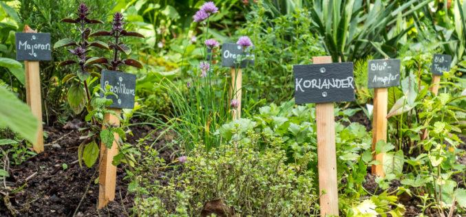 Wybrane rośliny o właściwościach konserwująco-utrwalających