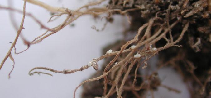 Nicienie szkodniki roślin rolniczych, warzywnych, sadowniczych i leśnych