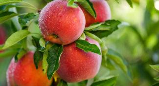 W jakich barwach maluje się przyszłość polskich jabłek?