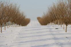 Jakie prace wykonać w styczniu w sadzie jabłoniowym?