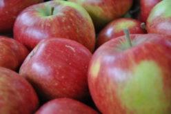 Tony polskich jabłek trafiły na śmietnik w Rosji