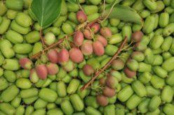 Cechy owoców MiniKiwi – czy i dlaczego warto je uprawiać?