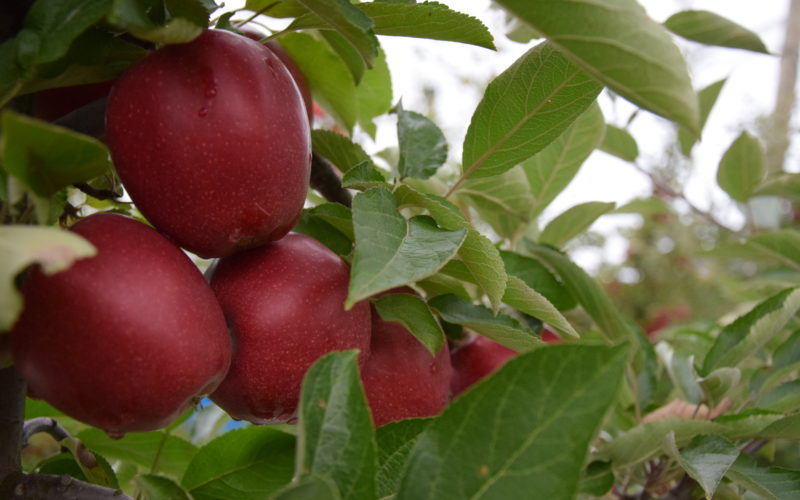 Będzie dodatkowy limit na wycofanie jabłek z rynku