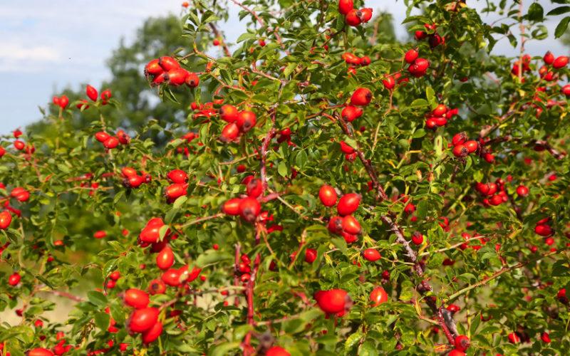Perspektywy uprawy towarowej dzikiej róży