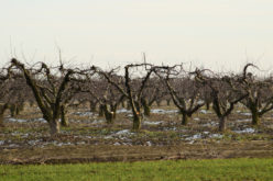 Uwaga na choroby kory i drewna jabłoni