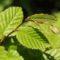 Cimiciato – nowy, bardzo groźny szkodnik leszczyny