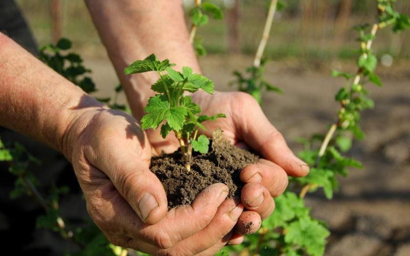Przygotowanie sadzonek zdrewniałych porzeczek do ukorzeniania jesiennego lub wczesnowiosennego