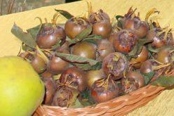 Mniej znane gatunki do uprawy w sadzie – nieszpułka zwyczajna