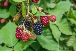 Czy uprawa towarowa jeżyny to przyszłość polskiego ogrodnictwa?