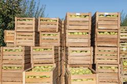 Wzrośnie światowa produkcji jabłek?