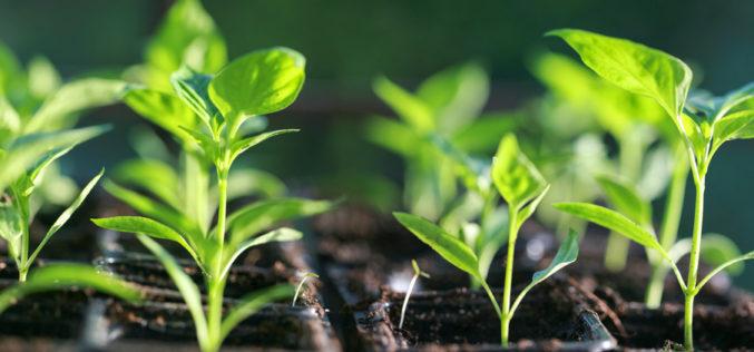 Jak ważne jest światło w produkcji rozsady i uprawie papryki pod osłonami?