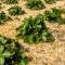 Korzyści ściółkowania gleby