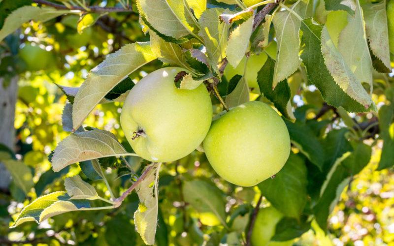 'Mutsu' i 'Akane' – japońskie odmiany jabłoni zyskują coraz większą popularność