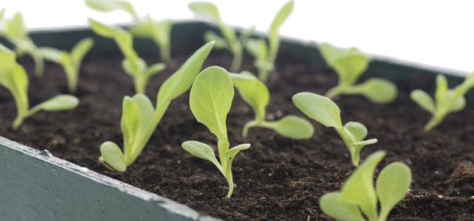Jak chronić rozsadę warzyw przed chorobami doglebowymi?