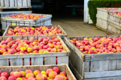 Bieżący tydzień przyniósł nieznaczny spadek cen jabłek przemysłowych