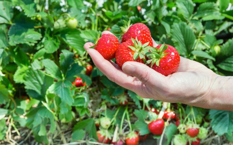 Uprawa truskawek w różnych systemach – który sposób bardziej opłacalny?