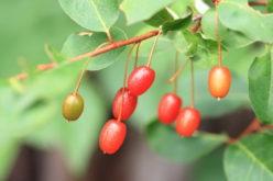 Oliwnik wielokwiatowy w sadzie?
