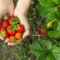 Mniejsza podaż truskawek działa w kierunku wzrostu ich cen