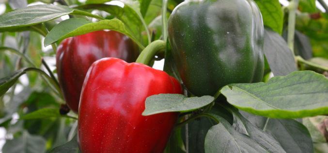 Najczęstsze choroby w uprawie papryki pod osłonami