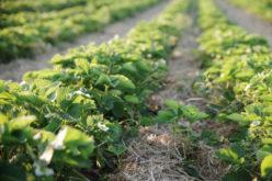 Fertygacja a jakość plonu truskawek