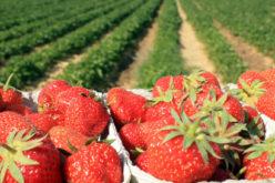 Ceny truskawek do przetwórstwa będą wysokie?